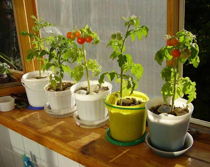 kak-virastit-pomidori-72458.jpg