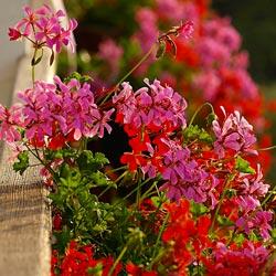 Цветы для балкона названия 119 фото балконные вьющиеся ампельные растения петуния и зимний сад на северной и солнечной стороне ящики для цветов