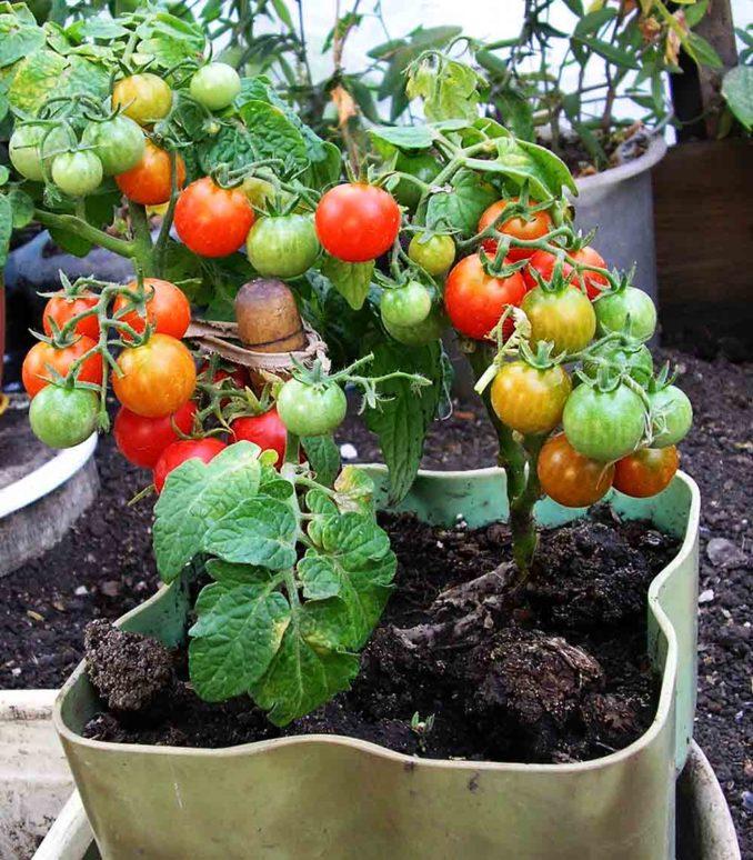 Как вырастить помидоры на подоконнике зимой в квартире