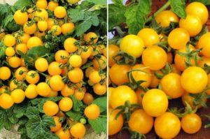 Выращивание помидоров на балконе: как и какие сорта балконных томатов можно сажать и выращивать в домашних условиях