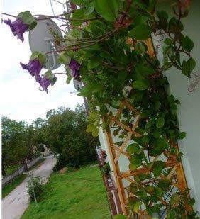 Плющ для балкона