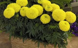Морозостойкие растения для балкона