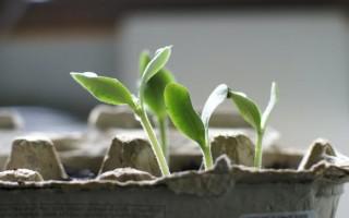 Как правильно посадить огурцы на подоконнике