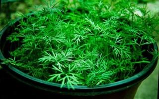 Укроп на подоконнике выращивание из семян